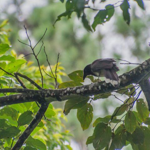 morio, Oiseau, Psilorhinus