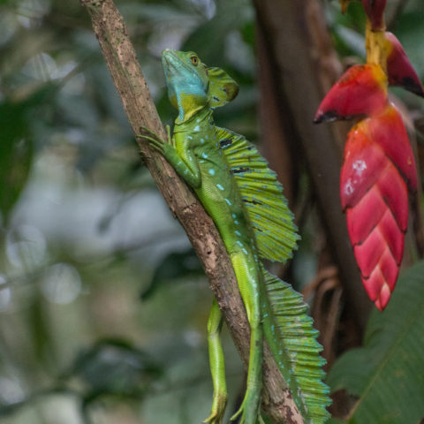Basiliscus, plumifrons, Reptile-2