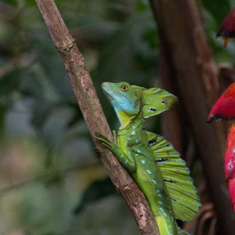 Basiliscus, plumifrons, Reptile-3