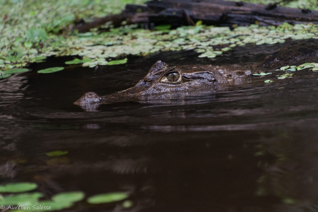 Caiman, crocodilus, Reptile-2
