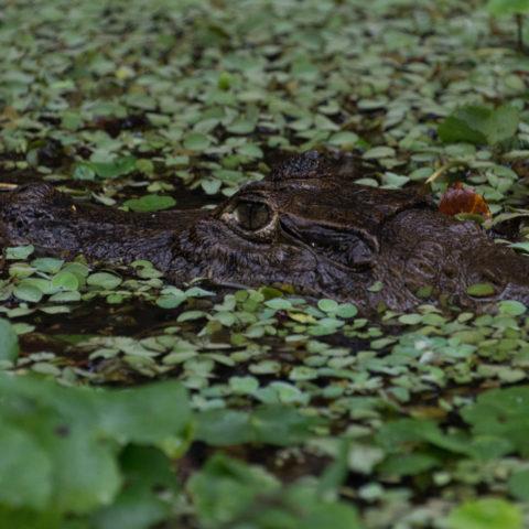 Caiman, crocodilus, Reptile