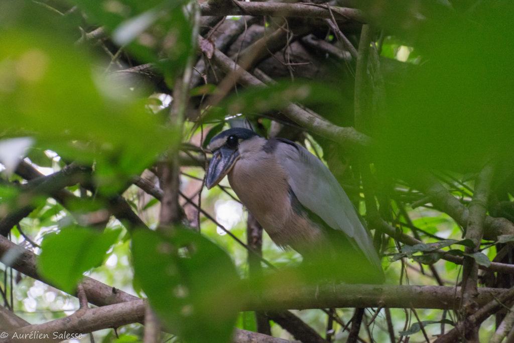 Cochlearius, Oiseau