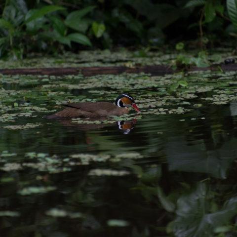 Fulica, Heliornis, Oiseau