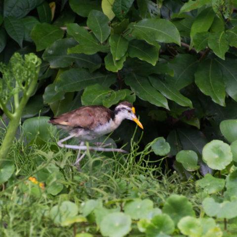 Jacana, Oiseau, spinosa-3