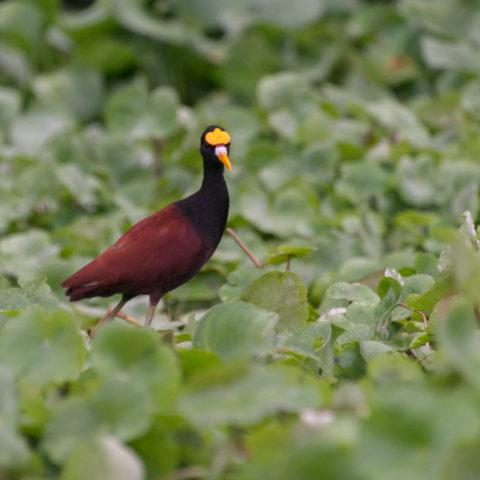 Jacana, Oiseau, spinosa