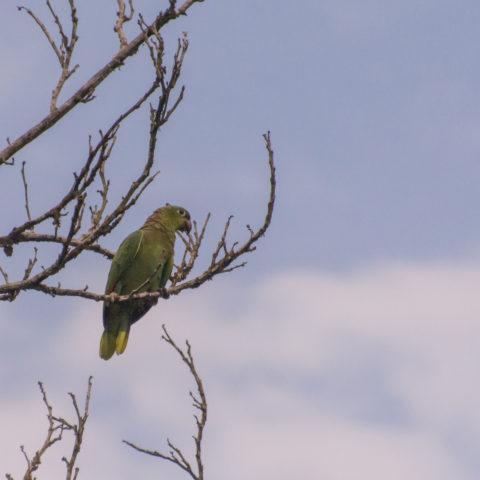 amazona, farinosa, Oiseau