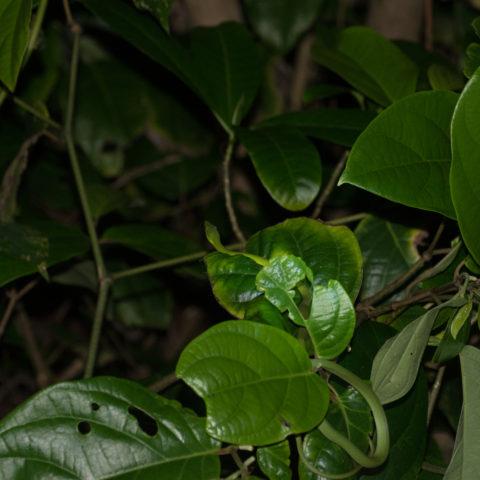 fulgidus, Oxybelis, Reptile