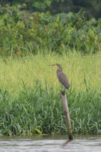 mexicanum, Oiseau, Trigrisoma