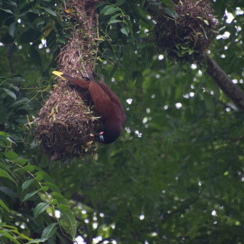 montezuma, Oiseau, Psarocolius