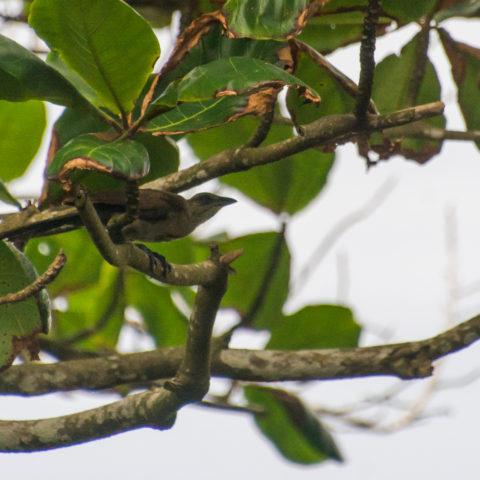 naevia, Oiseau, Tapera