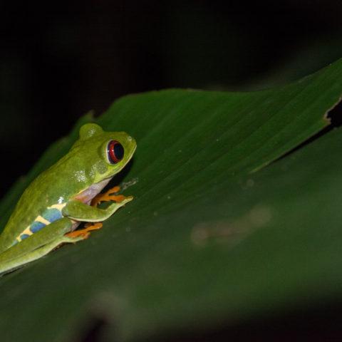 Agalychnis, Amphibien, callidryas-2