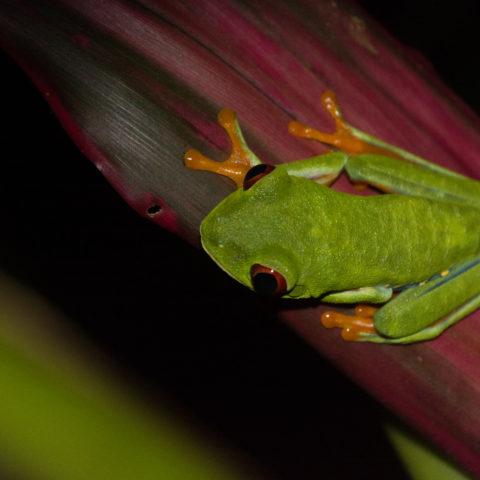 Agalychnis, Amphibien, callidryas-3