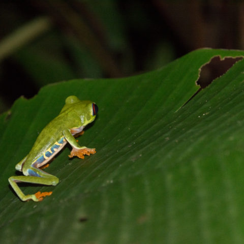 Agalychnis, Amphibien, callidryas