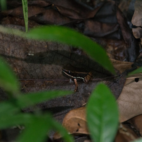 Allobates, Amphibien, talamancae-2
