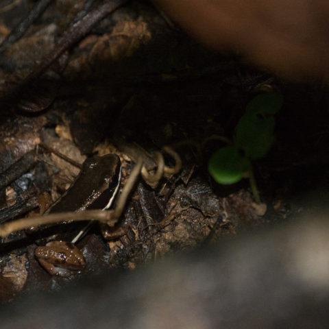 Allobates, Amphibien, talamancae