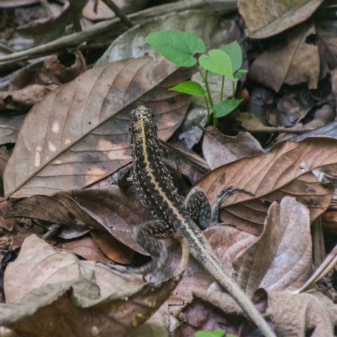 Ameiva, festiva, Reptile-2