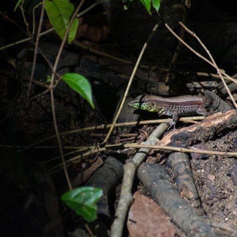 Ameiva, quadrileneata, Reptile-2
