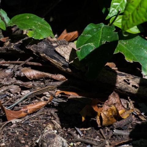 Ameiva, quadrileneata, Reptile