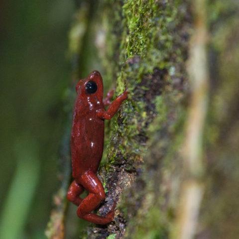 Amphibien, Oophaga, pumilio-2