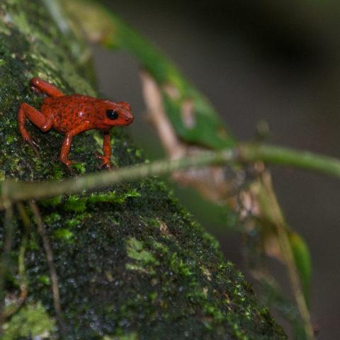 Amphibien, Oophaga, pumilio-3