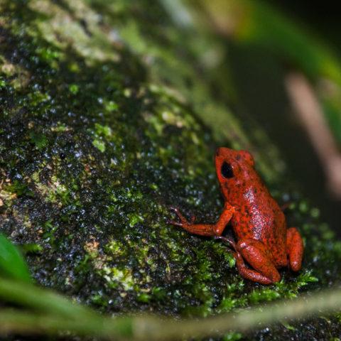 Amphibien, Oophaga, pumilio-4