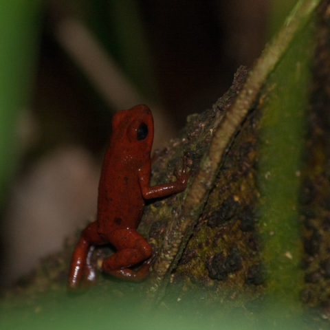 Amphibien, Oophaga, pumilio