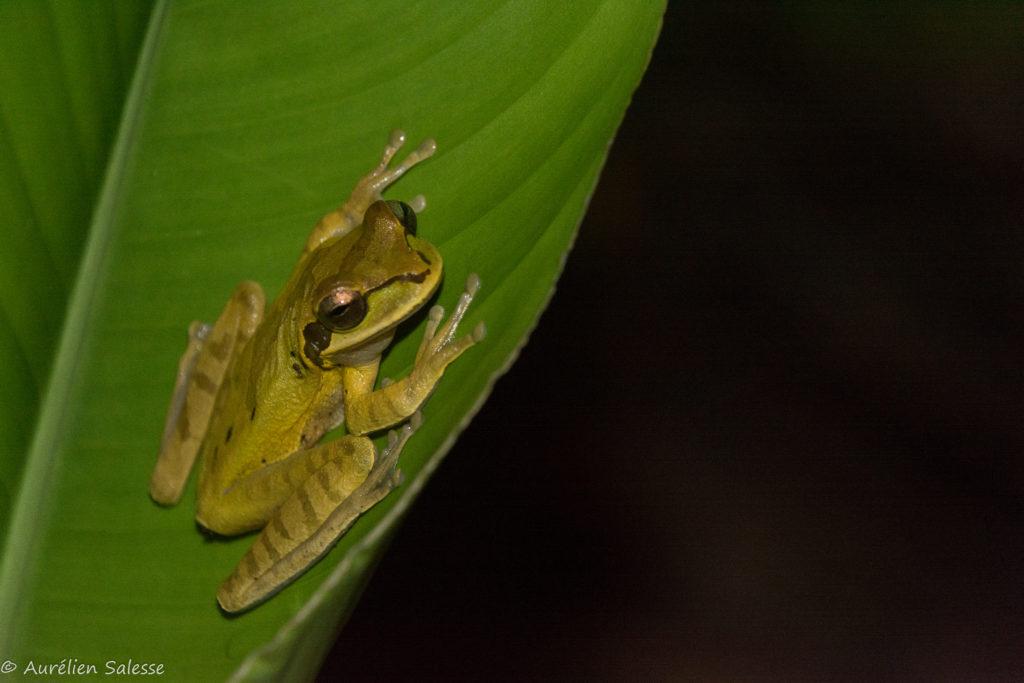 Amphibien, phaeota, Smilisca