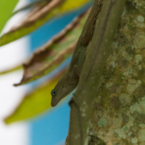 Anolis, limifrons, Reptile-2