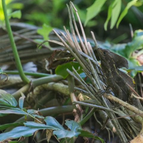 Basiliscus, Reptile, vittatus-2