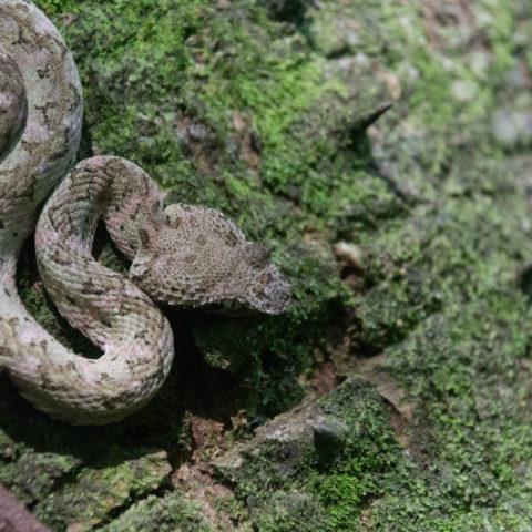 Bothriechis, Reptile, schlegelii-10