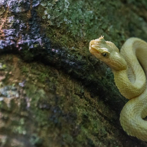 Bothriechis, Reptile, schlegelii-4