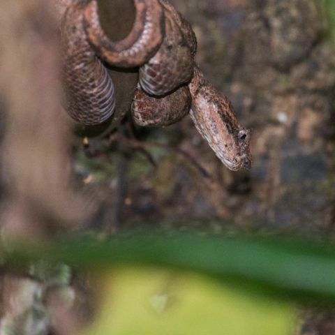 Bothriechis, Reptile, schlegelii