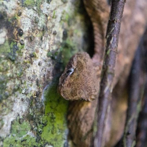 Bothriechis, Reptile, schlegelii-8