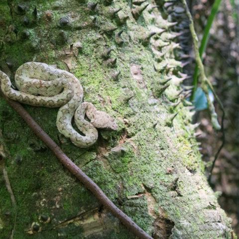 Bothriechis, Reptile, schlegelii-9