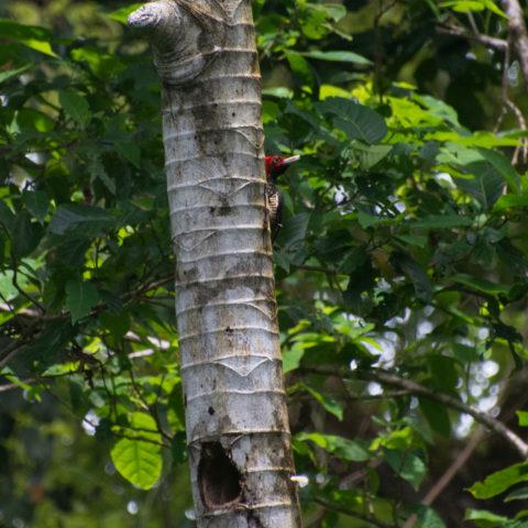 Campephilus, guatemalensis, Oiseau-2