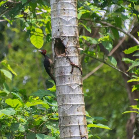 Campephilus, guatemalensis, Oiseau