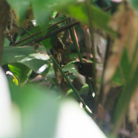 Cantorchilus, nigricapillus, Oiseau