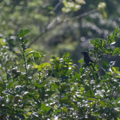 Crotophaga, Oiseau, sulcirostris