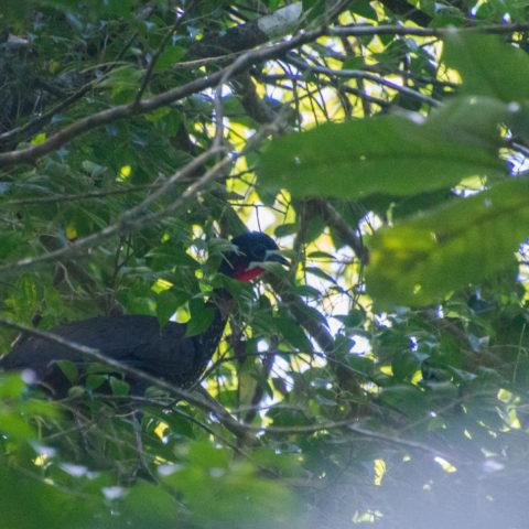 Oiseau, Penelope, purpurascens