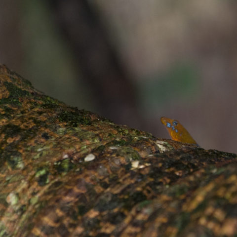 albogularis, Gonatodes, Reptile-2