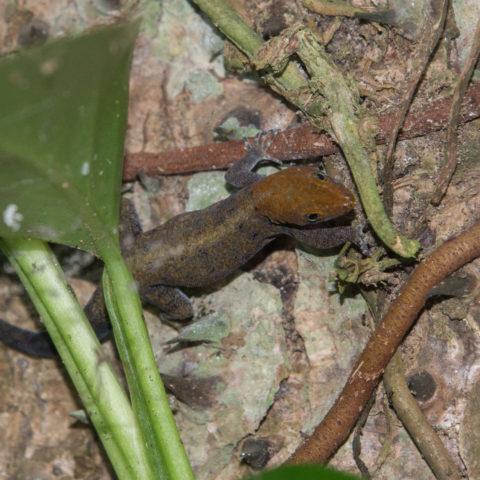 albogularis, Gonatodes, Reptile-4