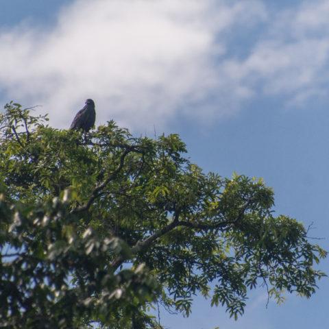 anthracinus, Buteogallus, Oiseau