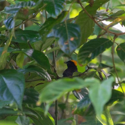 delatrii, Oiseau, Tachyphonus